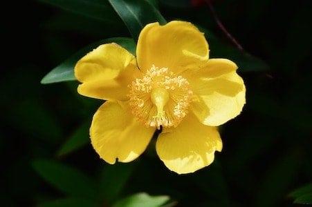 Agrimony - Odermenning - Bachblüten aus der PRAXIS für Gesundheit und Lebensfreude