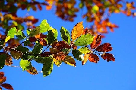 Beech - Rotbuche - Bachblüten aus der PRAXIS für Gesundheit und Lebensfreude