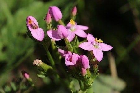 Centaury - Tausendgüldenkraut - Bachblüten aus der PRAXIS für Gesundheit und Lebensfreude