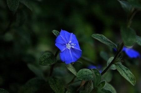 Cerato - Hornkraut - Bachblüten aus der PRAXIS für Gesundheit und Lebensfreude