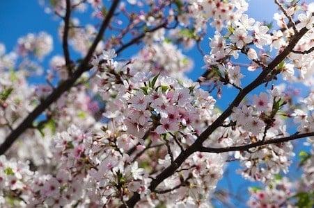 Cherry - Kirschblüte - Bachblüten aus der PRAXIS für Gesundheit und Lebensfreude