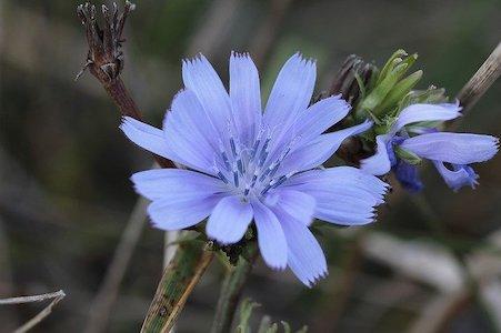 Chicory - Wegwarte - Bachblüten aus der PRAXIS für Gesundheit und Lebensfreude