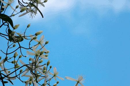Clematis - Weisse Waldrebe - Bachblüten aus der PRAXIS für Gesundheit und Lebensfreude