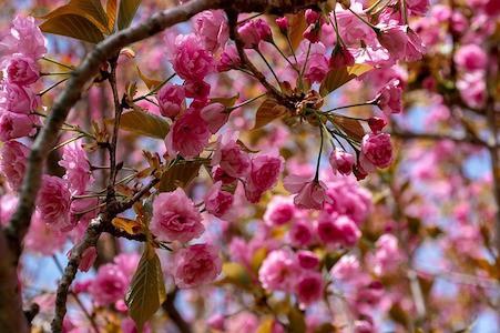 Crab Apple - Holzapfel - Bachblüten aus der PRAXIS für Gesundheit und Lebensfreude