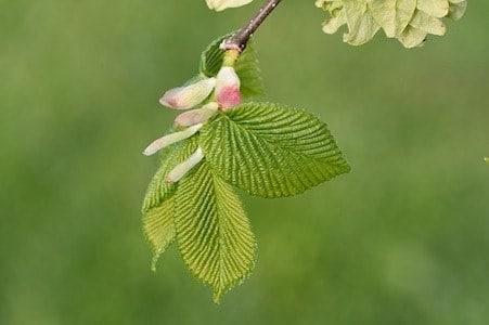Elm - Ulme - Bachblüten aus der PRAXIS für Gesundheit und Lebensfreude