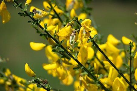 Gorse - Stechginster - Bachblüten aus der PRAXIS für Gesundheit und Lebensfreude
