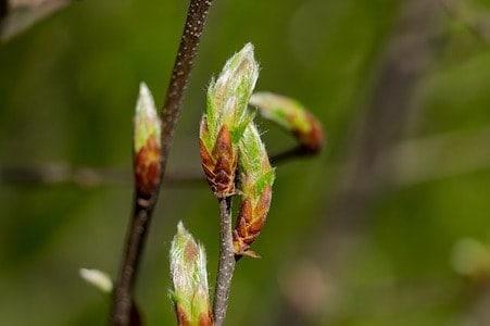 Hornbeam - Hainbuche - Bachblüten aus der PRAXIS für Gesundheit und Lebensfreude