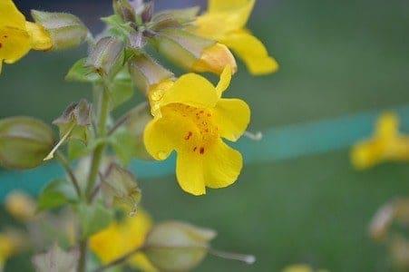 Mimulus - Gefleckte Gauklerblume - Bachblüten aus der PRAXIS für Gesundheit und Lebensfreude