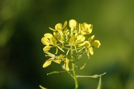Mustard - Wilder Senf - Bachblüten aus der PRAXIS für Gesundheit und Lebensfreude