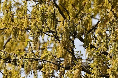 Oak - Eiche - Bachblüten aus der PRAXIS für Gesundheit und Lebensfreude