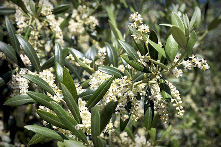 Olive - Bachblüten aus der PRAXIS für Gesundheit und Lebensfreude