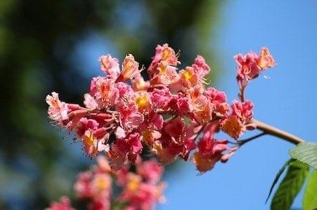 Red Chestnut - Rote Kastanie - Bachblüten aus der PRAXIS für Gesundheit und Lebensfreude