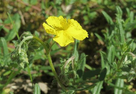Rock Rose - Gelbes Sonnenröschen - Bachblüten aus der PRAXIS für Gesundheit und Lebensfreude