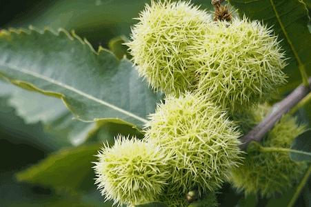 Sweet Chestnut - Esskastanie - Bachblüten aus der PRAXIS für Gesundheit und Lebensfreude