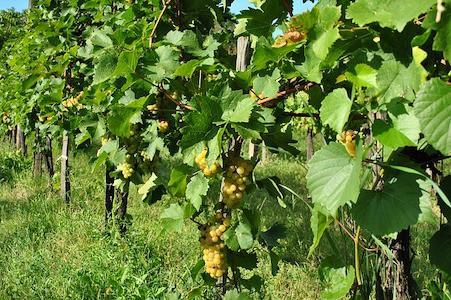 Vine - Weinrebe - Bachblüten aus der PRAXIS für Gesundheit und Lebensfreude