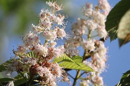 White Chestnut - Weisse Kastanie - Bachblüten aus der PRAXIS für Gesundheit und Lebensfreude