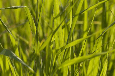 Wild Oat - Waldtrespe - Bachblüten aus der PRAXIS für Gesundheit und Lebensfreude