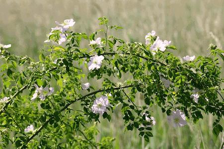 Wild Rose - Heckenrose - Bachblüten aus der PRAXIS für Gesundheit und Lebensfreude