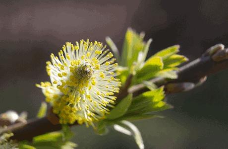 Willow - Gelbe Weide - Bachblüten aus der PRAXIS für Gesundheit und Lebensfreude