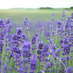 Pflanzen der Humoralmedizin (TEN)